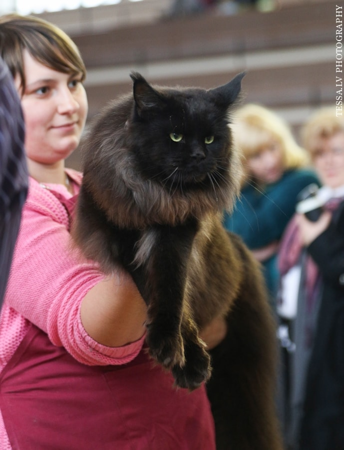 International Cat Show Adazi'2014 in Latvia