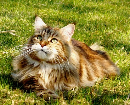 Maine Coon Breed Genetic Testing for HCM
